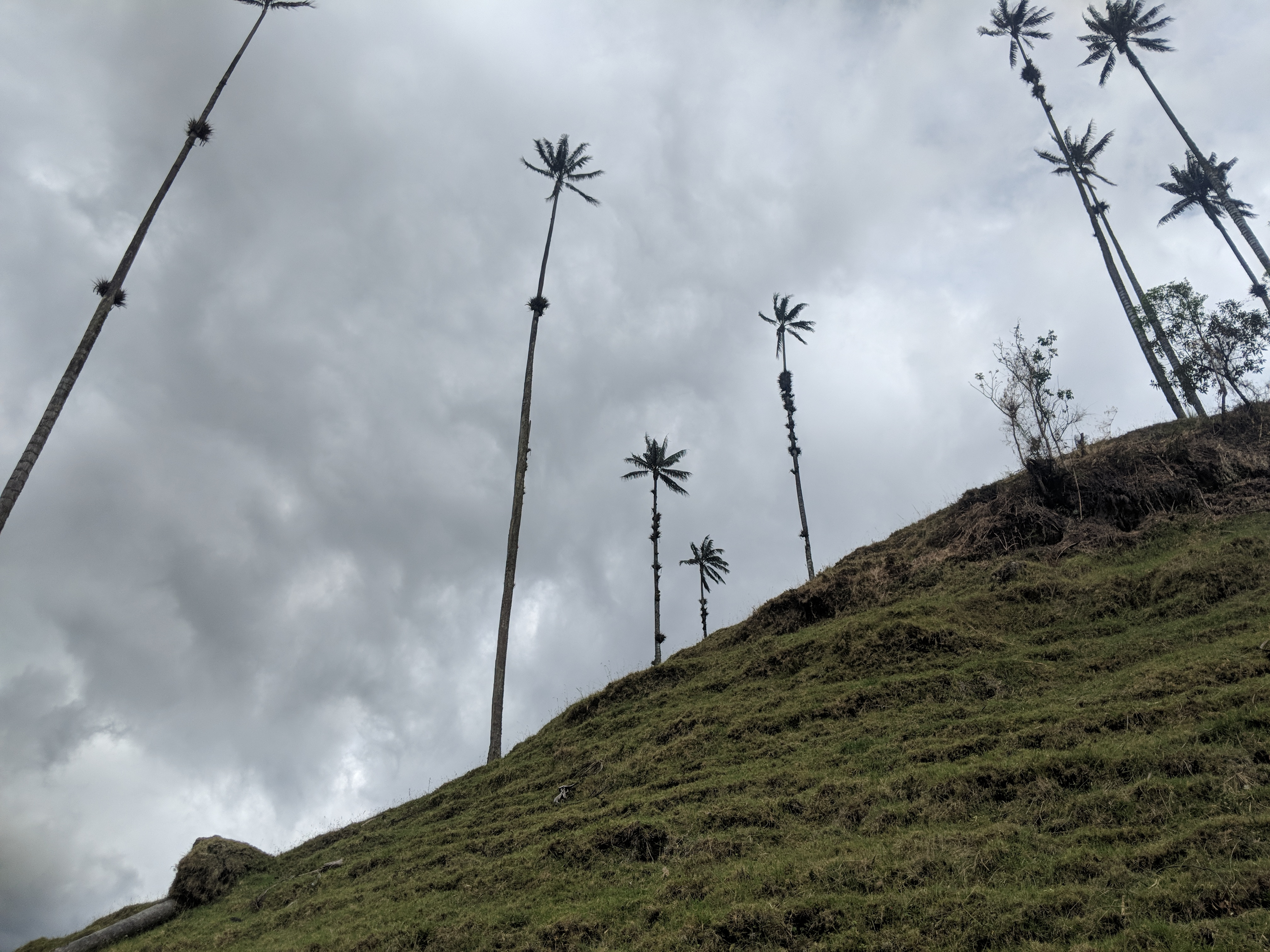 salento cocora valley tallest palm trees